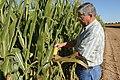 Joe Reed checking his corn crop in Edmonson, TX. (25090792506).jpg