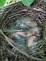 Junge Drossel im Nest.jpg