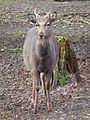 Junger Sikabock Tierpark Walldorf 2015.JPG