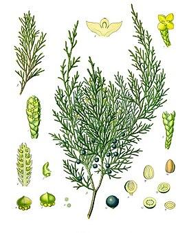 Ботаническая иллюстрация из книги