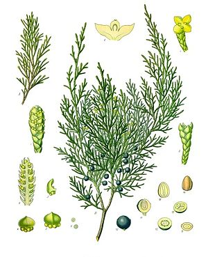 juniperus sabina la gomera