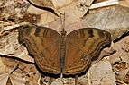 Junonia iphita-Kadavoor-2016-08-08-001.jpg