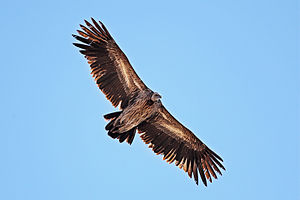 Himalayan vulture - Juvenile in flight