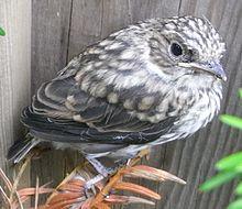 Juvenile Spotted Flycatcher.JPG