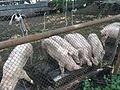 KHOZER (Pigs) 1.jpg