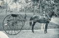 KITLV - 80270 - Kleingrothe, C.J. - Medan - Batak pony with carriage, presumably in the east coast of Sumatra - 1898.tif
