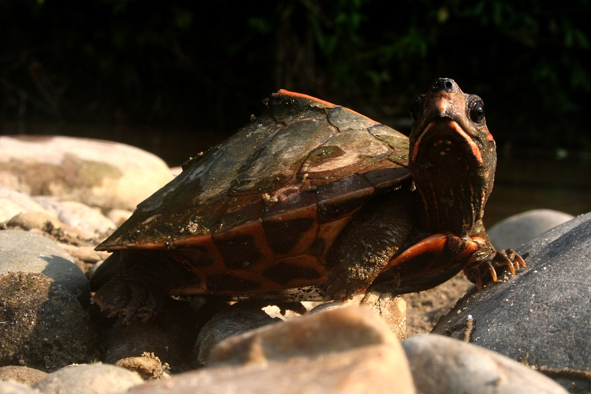 Assam Roofed Turtle Wikipedia