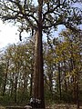 Kanikka Tree @ Parambikulam Tiger Reserve - panoramio.jpg