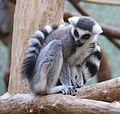 Katta Lemur catta Tierpark Hellabrunn-2.jpg