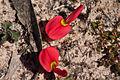 Kennedia prostrata (Running Postman) - Moora Track, Grampians National Park, Victoria Australia (5044218254).jpg