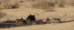 File:Kgalagadi-Hyena and Black-backed Jackal feeding off a Springbok-001.ogv