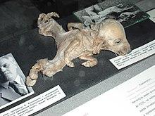 Piglet with dipygus at Ukrainian National Chernobyl Museum in Kiev