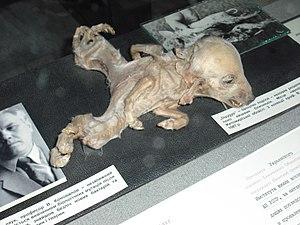 Dysmelia - Piglet with dipygus at Ukrainian National Chernobyl Museum in Kiev