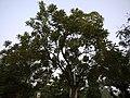 Kigelia africana (5131989343).jpg
