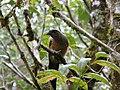 Kinabalu Park, Ranau, Sabah, Malaysia - panoramio (28).jpg