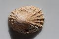 Kioloa Seashell 042.JPG
