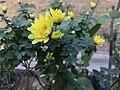 Kirkuk Flower 2.jpg