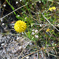 Kissimmee prairie state park - Yellow Wildflower.jpg