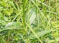 Knautia dipsacifolia at Lac des Mines d'Or (2).jpg