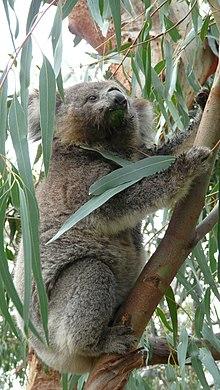 Koala redressé dans son arbre en train de guetter au loin