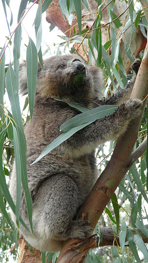 Phillip Island Nature Park - Image: Koala Phillip Island z