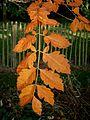 Koelreuteria paniculata autumn colour.jpg
