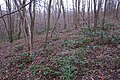 Korina 2015-03-29 Mahonia aquifolium 1.jpg