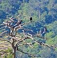 Korp Common Raven (14339416509).jpg