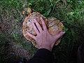 Lactarius deliciosus vlasina.jpg