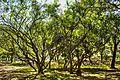 Lalbagh trees.jpg