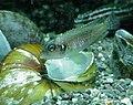 Lamprologus Ocellatus.JPG