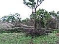 Lantana camara removal in BRT Tiger Reserve.jpg