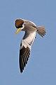 Large-billed tern (Phaetusa simplex) in flight.JPG