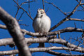 Lark Sparrow (Chondestes grammacus) (8079397610).jpg