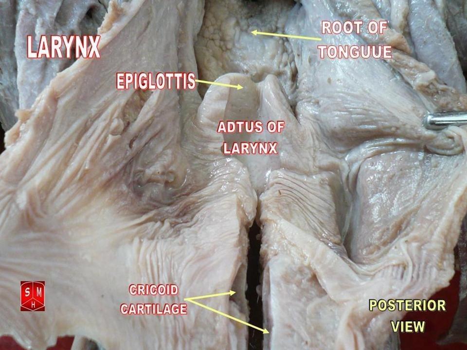 Larynx