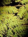 Lastreopsis nephrodioides RBG Sydney.jpg