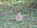 Laughing Dove Foraging 01.jpg