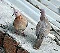 Laughing Doves I IMG 9759.jpg
