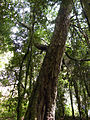 Laurelia sempervirens, Reserva Edmundo Winkler.jpg