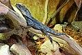 Le Bugue - Aquarium du Périgord noir - Lézard à collerette - 001.jpg