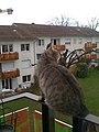 Le chat du voisin - panoramio.jpg