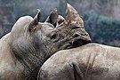 Le repos du guerrier, Zoo de Beauval, 2012.jpg