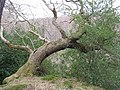Leaning Oak in Dalkeith Country Park - geograph.org.uk - 1204531.jpg