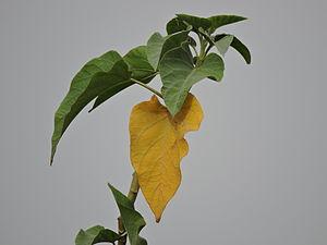 Ipomoea carnea - Image: Leaves of Ipomoea carnea plant