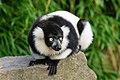 Lemur (26245092949).jpg