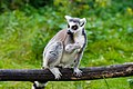 Lemur (37313653445).jpg