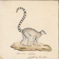 Lemur catta - 1829-1867 - Print - Iconographia Zoologica - Special Collections University of Amsterdam - UBA01 IZ19700033.tif