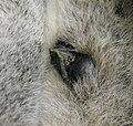 Lemur catta spur and antebrachial gland.jpg
