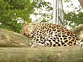 Leopard (486828753).jpg