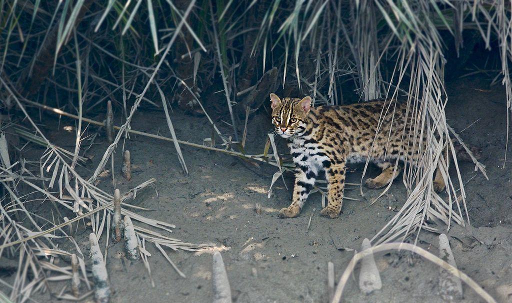 https://upload.wikimedia.org/wikipedia/commons/thumb/0/02/Leopard_cat_India.jpg/1024px-Leopard_cat_India.jpg